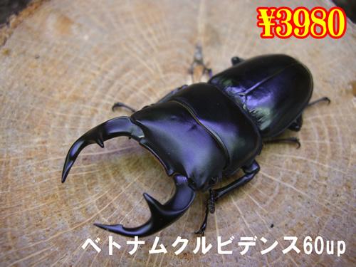 特選虫の市■ベトナムクルビデンス60up成虫ペア(1ペアまで