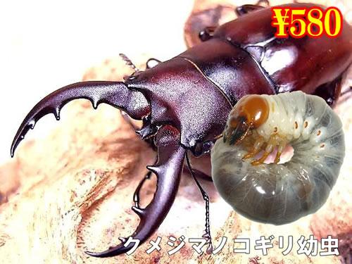 特選虫の市■離島 クメジマノコギリ幼虫(3頭まで