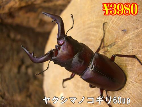 特選虫の市■離島 ヤクシマノコギリ60u成虫ペア(1ペアまで