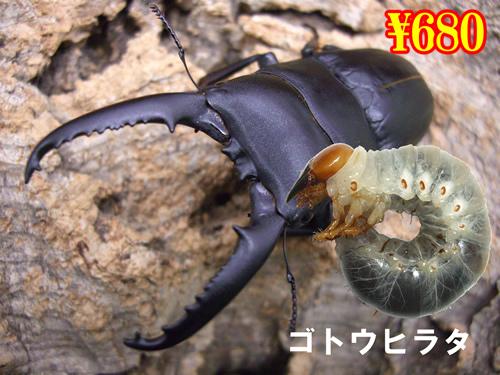 特選虫の市■離島 ゴトウヒラタ幼虫(3頭まで