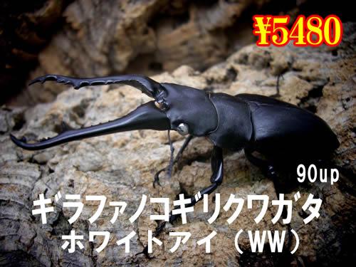 特選虫の市■ギラファノコ【ホワイトアイ】90up成虫ペア(1ペアまで