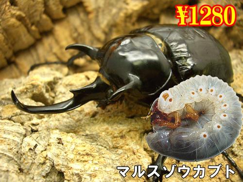 特選虫の市■マルスゾウカブト幼虫(3頭まで