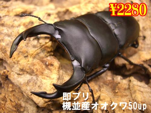 特選虫の市■即ブリ槻並産オオクワ50up成虫ペア(1ペアまで