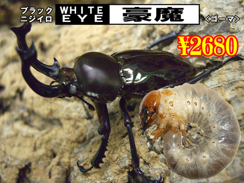 特選虫の市■SUPER個体【豪魔】血統幼虫(3頭まで)
