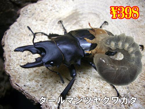 特選虫の市■ダールマンツヤクワガタ幼虫(3頭まで