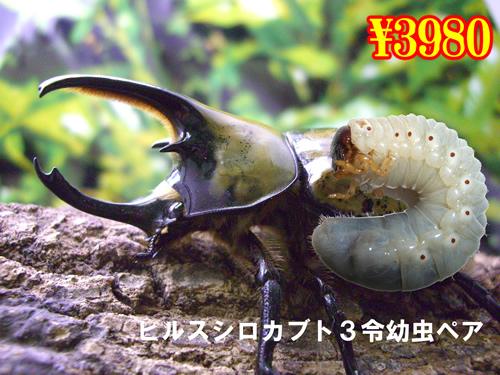 特選虫の市■ヒルスシロカブト3令幼虫ペア(1ペアまで)