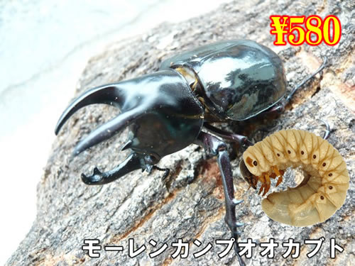 特選虫の市■モーレンカンプオオカブト幼虫(3頭まで