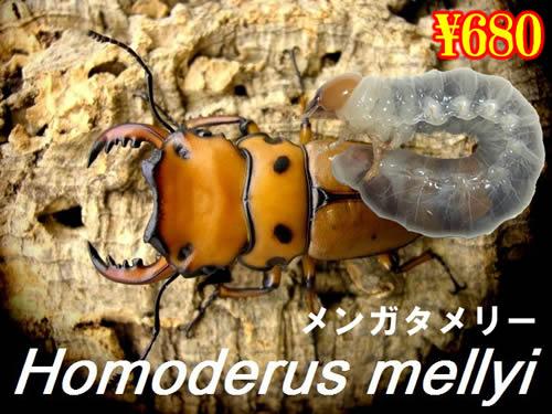 特選虫の市■メンガタメリー幼虫(3頭まで
