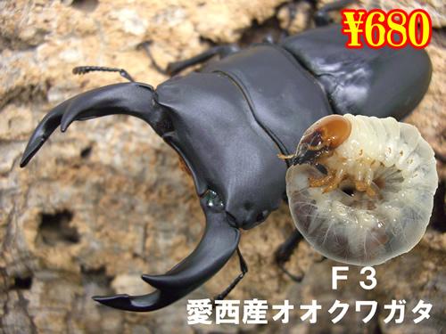 特選虫の市■F3愛西産オオクワガタ幼虫(3頭まで