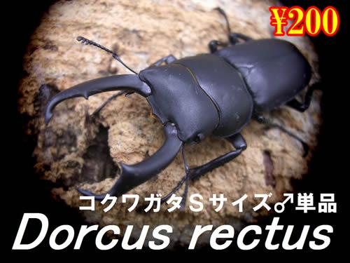 特選虫の市■コクワガタSサイズ♂単品(2頭まで