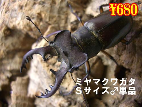 特選虫の市■ミヤマクワガタSサイズ♂単品(1頭まで