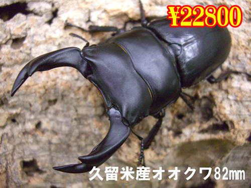 特選虫の市■久留米産オオクワ82mm成虫ペア(1ペアまで