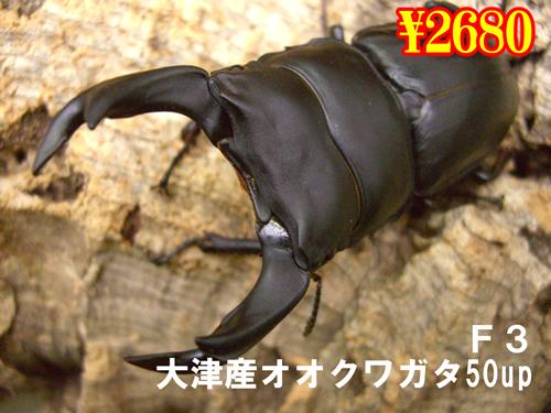 特選虫の市■F3大津産オオクワ50up成ペア(1ペアまで