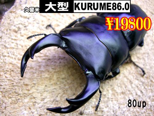 特選虫の市■SUPER個体【KURUME86.0】血統80up成虫ペア