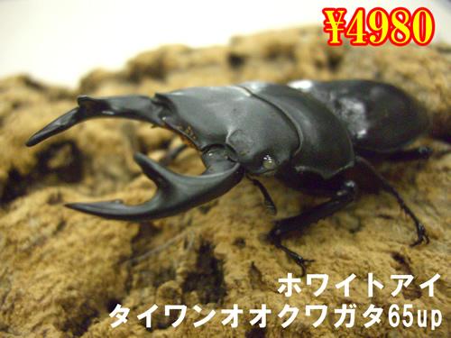特選虫の市■タイワンオオクワ【ホワイトアイ】65up成虫ペア(1ペアまで