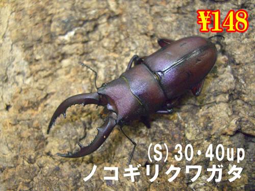 特選虫の市■国産ノコギリ(S)30・40up成虫ペア(2ペアまで