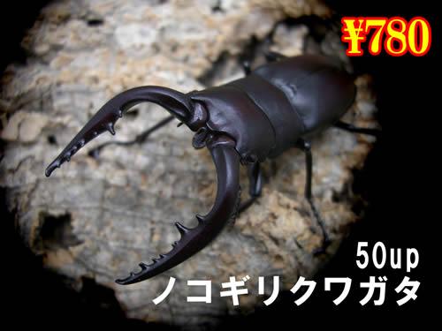 特選虫の市■国産ノコギリ(M)50up成虫ペア(2ペアまで