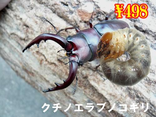 特選虫の市■離島 クチノエラブノコギリ幼虫(3頭まで