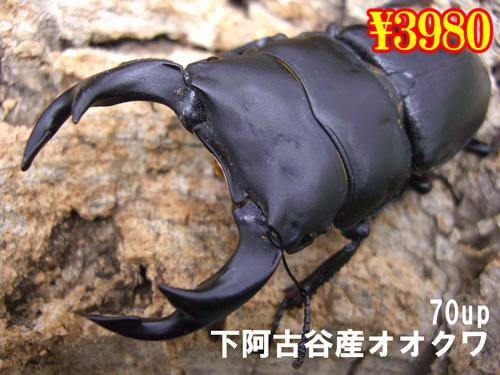 特選虫の市■下阿古谷産オオクワ70up成虫ペア(1ペアまで