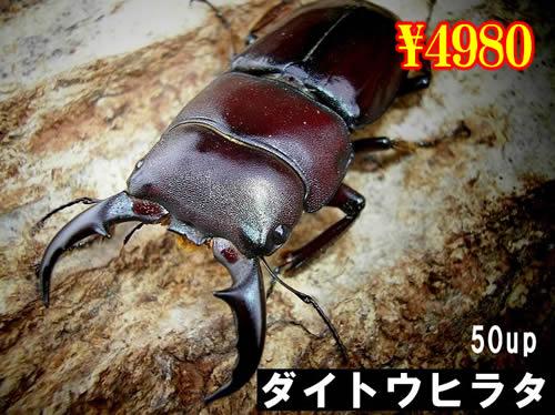 特選虫の市■離島 ダイトウヒラタ50up成虫ペア(1ペアまで