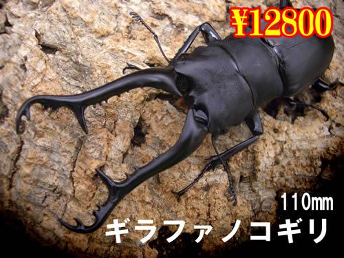 特選虫の市■ギラファノコギリ110mm成虫ペア(1ペアまで
