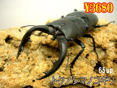 特選虫の市■離島 トクノシマノコギリ65up成虫ペア(1ペアまで