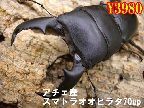 特選虫の市■アチェ産スマトラオオヒラタ70up成虫ペア(1ペアまで