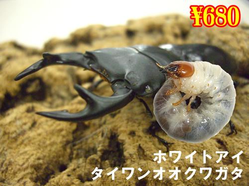特選虫の市■タイワンオオクワ【ホワイトアイ】幼虫(3頭まで)