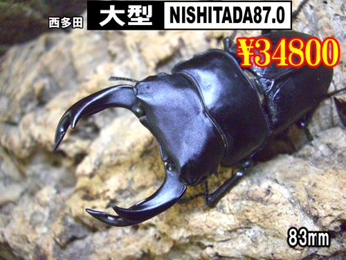 虫の市■SUPER個体【NISHITADA87.0】血統83mm成虫ペア