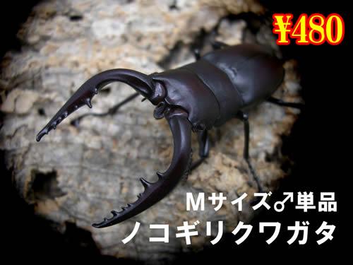 特選虫の市■国産ノコギリクワガタMサイズ成虫♂単品(1頭まで