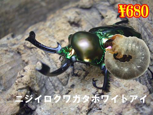 特選虫の市■ニジイロクワガタ【ホワイトアイ】幼虫(3頭まで