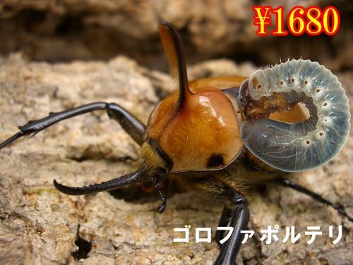 特選虫の市■ゴルファポテリ幼虫(3頭まで