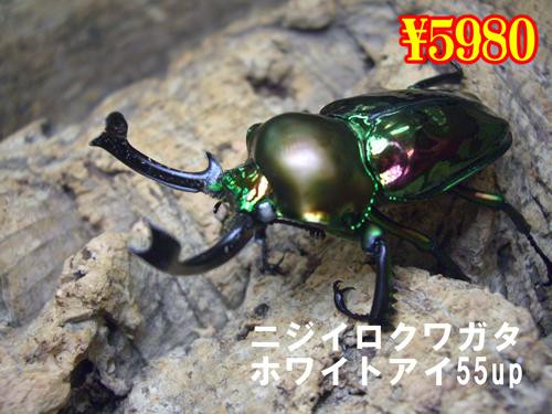 特選虫の市■ニジイロ【ホワイトアイ】55up成虫ペア(1ペアまで