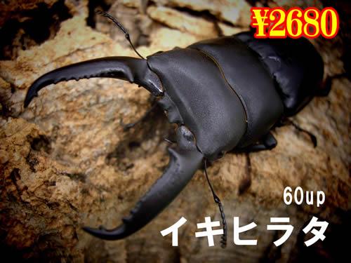 特選虫の市■離島イキヒラタ60up成虫ペア(1ペアまで
