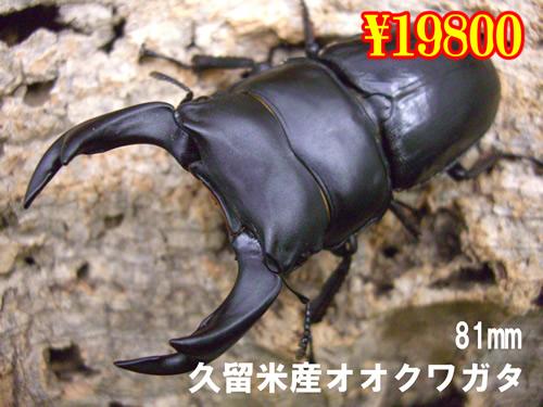 特選虫の市■久留米産オオクワ81mm成虫ペア(1ペアまで