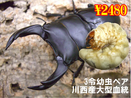 特選虫の市■川西産オオクワ大型血統3令幼虫ペア(1ペアまで