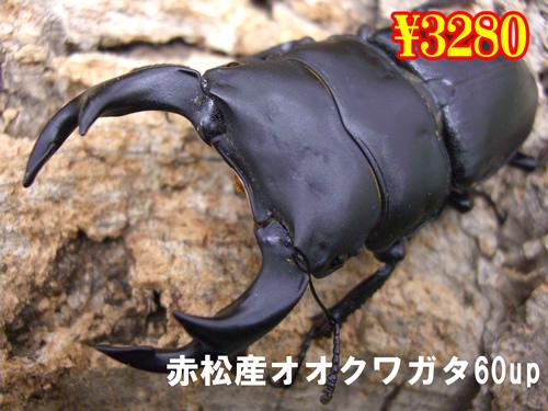 特選虫の市■赤松産オオクワ60up成虫ペア(1ペアまで