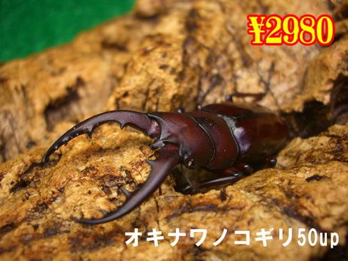 特選虫の市■離島 オキナワノコギリ50up成虫ペア(1ペアまで