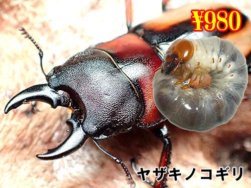 特選虫の市■ヤザキノコギリ幼虫(3頭まで