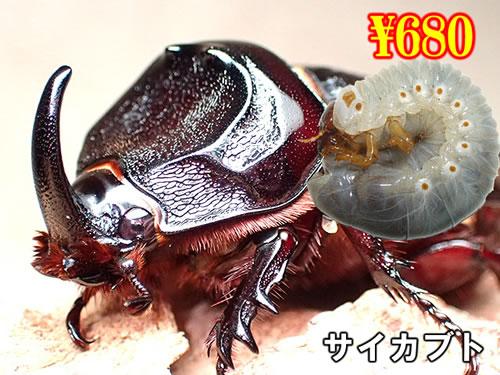 特選虫の市■サイカブト幼虫(3頭まで