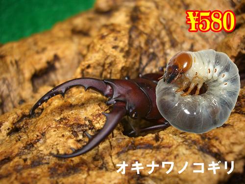 特選虫の市■オキナワノコギリ幼虫(3頭まで