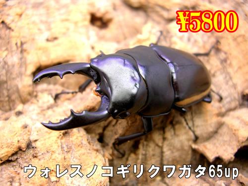 特選虫の市■ウォレスノコギリ65up成虫ペア(1ペアまで