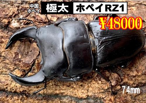 特選虫の市■SUPER個体極太ホペイRZ1血統74mm成虫ペア