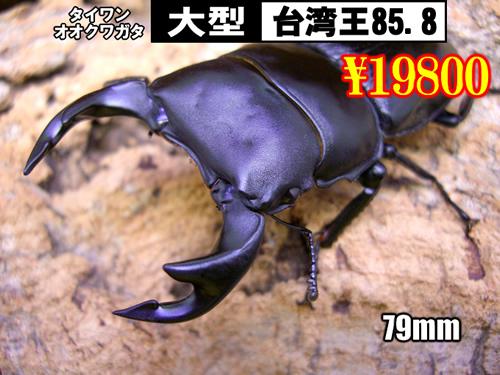 特選虫の市■SUPER個体【台湾王85.8】79mm成虫ペア