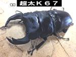 国産オオクワガタ 【超太K67】血統