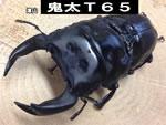 国産オオクワガタ 【鬼太T65】血統
