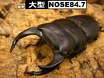 国産オオクワガタ 大型【NOSE84.7】血統
