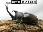 国産カブト 【超デカ-カブト88.0】血統