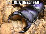 国産オオクワガタ 【極太-下阿古67】血統