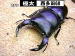 国産オオクワガタ 【極太-西多田68】血統